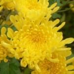 9月9日は菊の節句。菊花神事